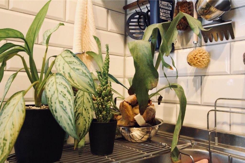 キッチンで水やり中のコウモリランと多肉植物
