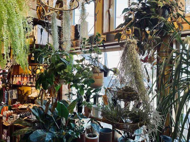 pyram plants